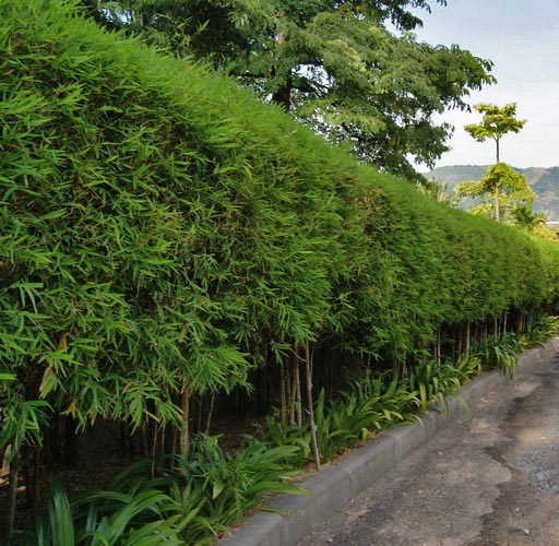 bambushecken sorten und pflanzabstand bambuswald. Black Bedroom Furniture Sets. Home Design Ideas