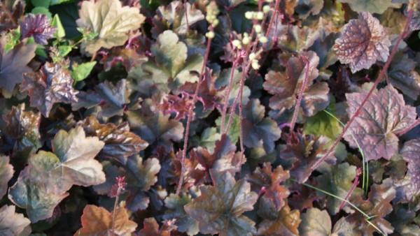 Garten-Silberglöckchen, Heuchera 'Palace Purple'