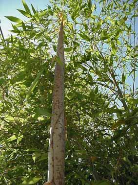 bambusrizohm-wachstum