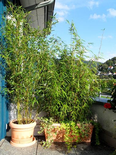 bambus-als-sichtschutz1