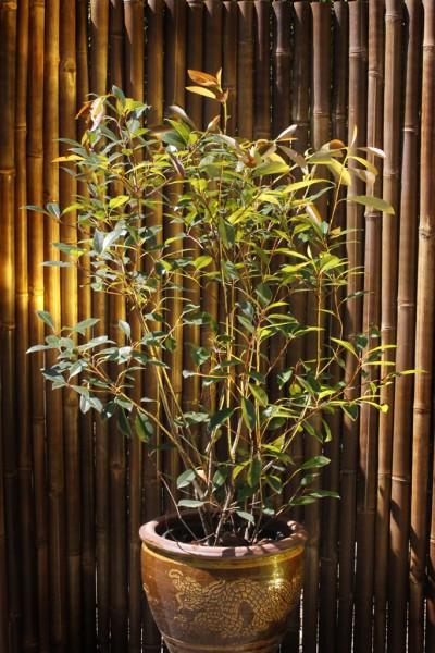 Portugiesischer Kirschlorbeer - Prunus lusitanica angustifolia