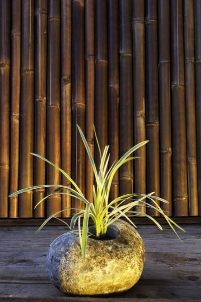 Feinhalm-Chinaschilf 'Graziella', Miscanthus sinensis 'Graziella'