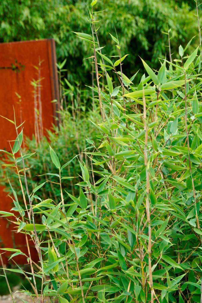 Bambushecken Sorten Und Pflanzabstand Bambus Und Pflanzenshop