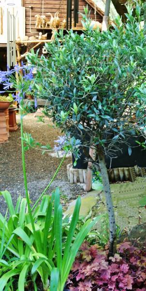 Olivenbaum , Olea europea