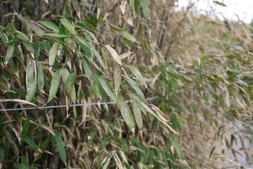 hecke-phyllostachys-nigra-winterschaden-bambuswald0250fbed2ec18f5