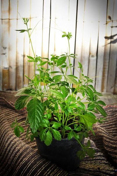 jiaogulan kraut der unsterblichkeit kr uter pflanzen garten pflanzen bambus und pflanzenshop. Black Bedroom Furniture Sets. Home Design Ideas