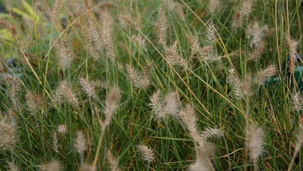 Zwerg-Lampenputzergras, Pennisetum alopecuroides 'Little Bunny'