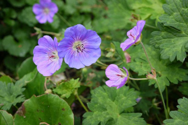 Storchenschnabel, Geranium in Sorten