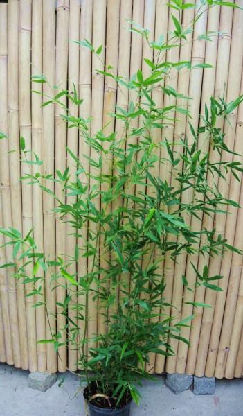 Phyllostachys aureosulcata, Rauher Gelbrinnenbambus