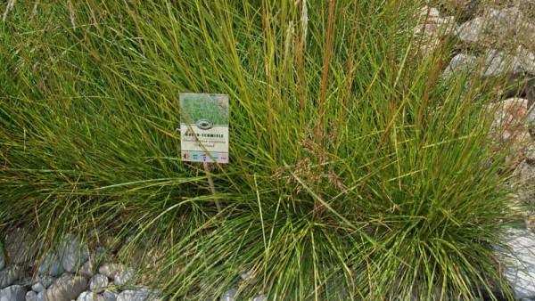 Wald-Schmiele, Deschampsia cespitosa 'Tardiflora'