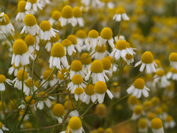 Echte Kamille, Matricaria chamomilla