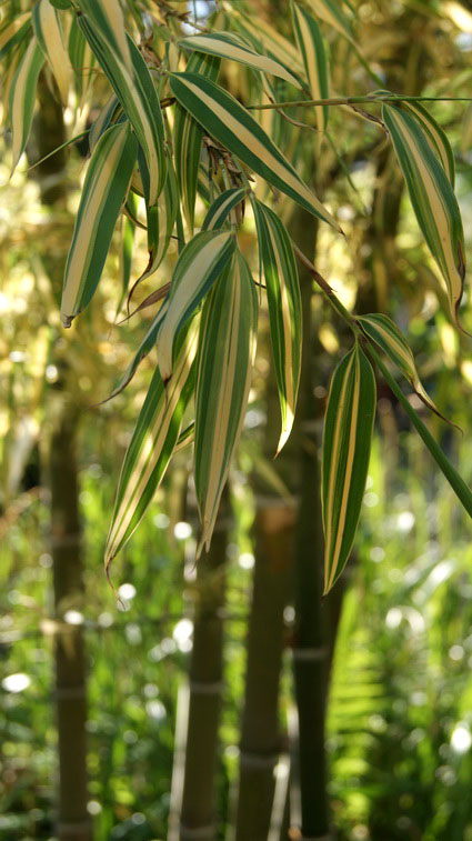 phyllostachys-pubescens-edulis-summer-snow-baetter50f2babf63b73