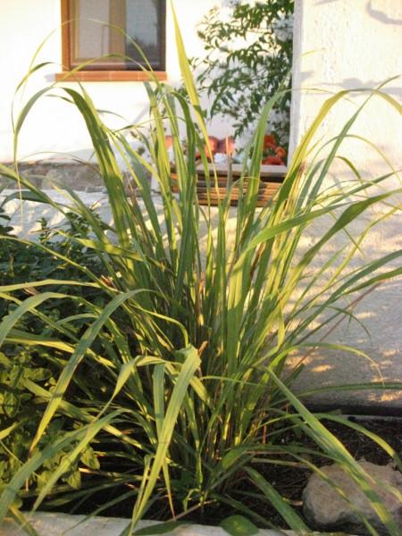 Cymbopogon citratus, Lemon- bzw. Zitronengras