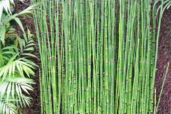 Riesenschachtelhalm, Equisetum hyemale var. robustum