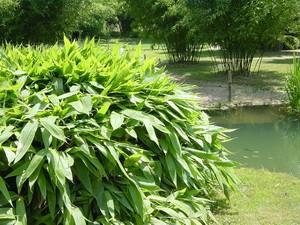 Breitblättriger Bambus, Sasa palmata 'Nebulosa'