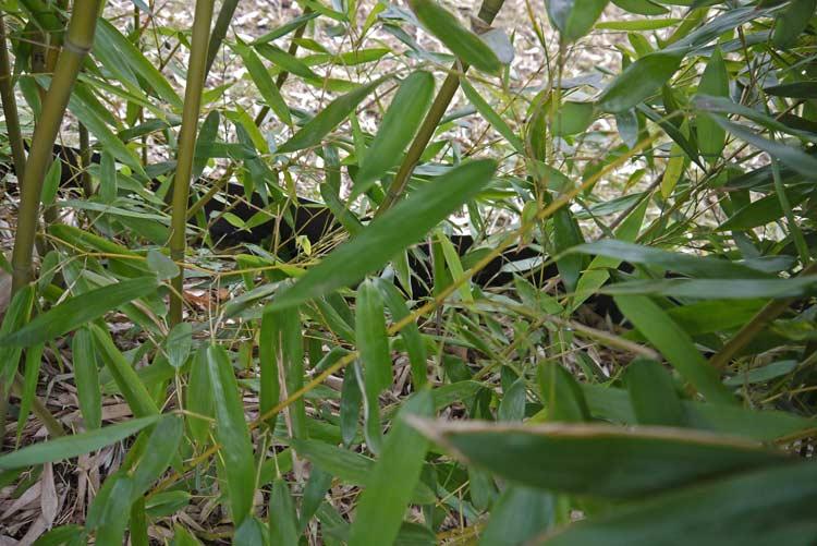 phyllostachys-bissetii-hecke-bambuswald-5517edc3a72feb
