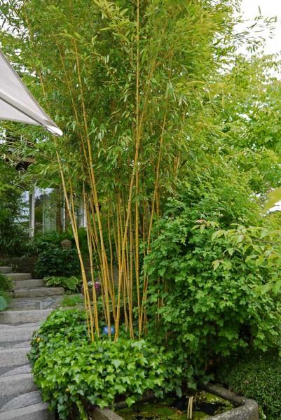 Goldener Peking Bambus, Phyllostachys aureosulcata 'Aureocaulis'