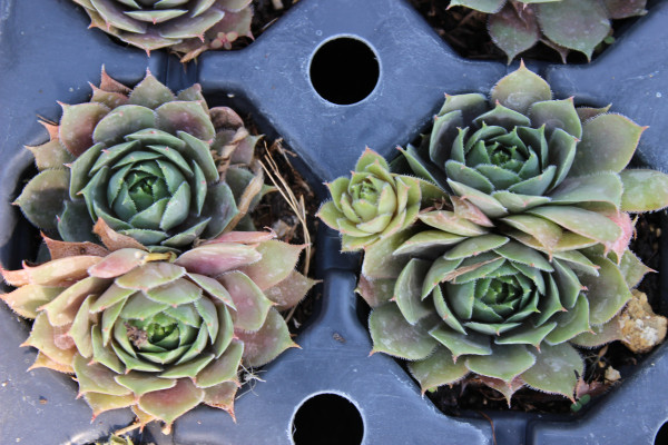 Dach-Hauswurz , Sempervivum tectorum