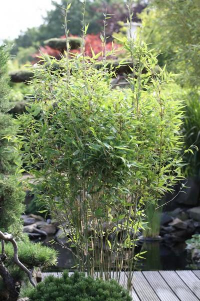 Gartenbambus 'Tiny', Fargesia murielae 'Tiny'