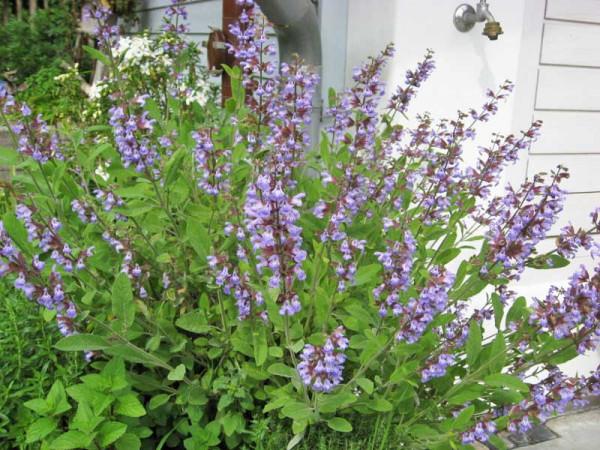 Küchensalbei, Salvia officinalis