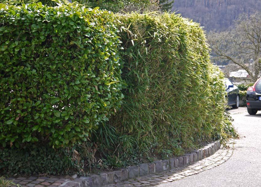 pseudosasa-japonica-hecke-bambuswald-105175ab0c2c044