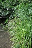 Zyperngras, Cyperus 80-120cm / 3-5L Topf