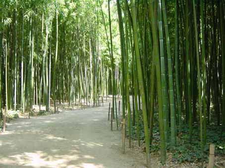 das wachstum und die h he von bambus bambus wissen was. Black Bedroom Furniture Sets. Home Design Ideas