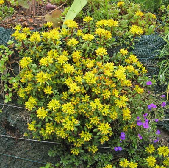 Weihenstephaner Gold, Sedum floriferum